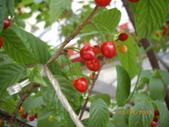 山櫻花的果實:IMGP2756.JPG