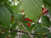 山櫻花的果實:IMGP2768.JPG