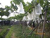 溪湖葡萄-香又甜:自然農法套袋葡萄9