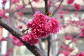 2014年台中市北屯區文昌國小櫻花開滿園:DSC_0263.JPG