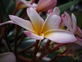 山櫻花的果實:IMGP3972.JPG