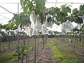 溪湖葡萄-香又甜:自然農法套袋葡萄3