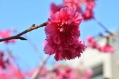 2014年台中市北屯區文昌國小櫻花開滿園:DSC_0330.JPG