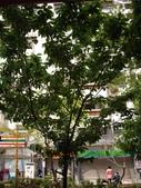 山櫻花的果實:IMGP2771.JPG