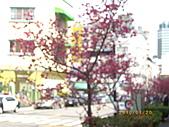 台中市北屯區-我現居住所在文昌國小:文昌國小櫻花大道1