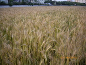 2012大雅小麥田:台灣小麥的故鄉---台中大雅