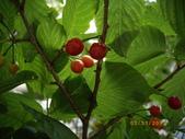 山櫻花的果實:IMGP2760.JPG