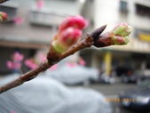 台中市北屯區太原路柳川街交叉三角公園盛開櫻花:IMGP2399.JPG