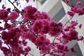 2014年台中市北屯區文昌國小櫻花開滿園:DSC_0342.JPG