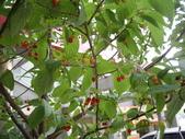 山櫻花的果實:IMGP2765.JPG