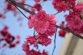 2014年台中市北屯區文昌國小櫻花開滿園:DSC_0494.JPG