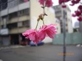 台中市北屯區太原路柳川街交叉三角公園盛開櫻花:IMGP2341.JPG