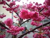 台中市北屯區太原路柳川街交叉三角公園盛開櫻花:IMGP2342.JPG