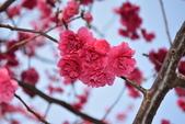 2014年台中市北屯區文昌國小櫻花開滿園:DSC_0498.JPG