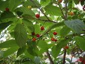 山櫻花的果實:IMGP2769.JPG