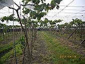 溪湖葡萄-香又甜:自然農法套袋葡萄8