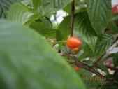 山櫻花的果實:IMGP2757.JPG