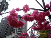 台中市北屯區太原路柳川街交叉三角公園盛開櫻花:IMGP2344.JPG