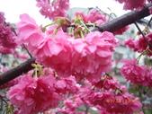 台中市北屯區太原路柳川街交叉三角公園盛開櫻花:IMGP2345.JPG