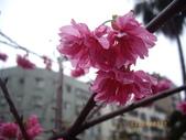台中市北屯區太原路柳川街交叉三角公園盛開櫻花:IMGP2346.JPG