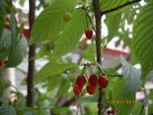 山櫻花的果實:IMGP2761.JPG