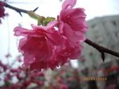 台中市北屯區太原路柳川街交叉三角公園盛開櫻花:IMGP2349.JPG