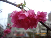 台中市北屯區太原路柳川街交叉三角公園盛開櫻花:IMGP2350.JPG