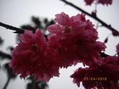 台中市北屯區太原路柳川街交叉三角公園盛開櫻花:IMGP2352.JPG