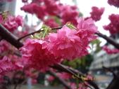 台中市北屯區太原路柳川街交叉三角公園盛開櫻花:IMGP2354.JPG
