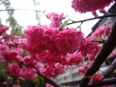 台中市北屯區太原路柳川街交叉三角公園盛開櫻花:IMGP2355.JPG