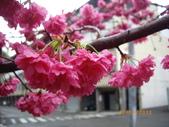台中市北屯區太原路柳川街交叉三角公園盛開櫻花:IMGP2356.JPG