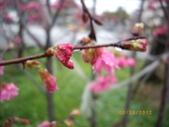 台中市北屯區太原路柳川街交叉三角公園盛開櫻花:IMGP2357.JPG