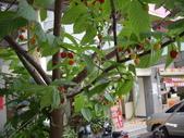 山櫻花的果實:IMGP2766.JPG