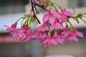 2014年台中市北屯區文昌國小櫻花開滿園:DSC_0278.JPG
