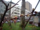 台中市北屯區太原路柳川街交叉三角公園盛開櫻花:IMGP2359.JPG