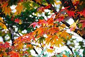 2016日本京都追紅葉:1121-052路旁有紅葉就拍起來了.jpg