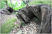 士林區之軍艦岩:20090402芝山岩枯石46.JPG