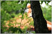 士林區之軍艦岩:20090402芝山岩梅子9589.jpg