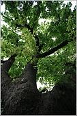 士林區之軍艦岩:20090402芝山岩百年楓樹06.JPG