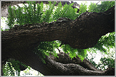 士林區之軍艦岩:20090402芝山岩蒼生植物54.jpg