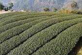 竹山青龍瀑布:八卦茶園