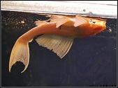 可愛動物:黃金垃圾魚