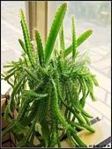豆豆盆栽:綠鑽