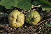 竹山青龍瀑布:龍鬚菜的果實