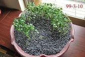 豆豆盆栽:木瓜盆栽
