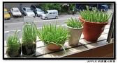 豆豆盆栽:綠鑚~火龍果