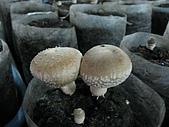 2008-11新社-百菇莊:2008-11-24百菇莊_0007.JPG
