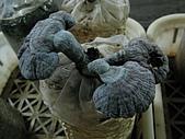 2008-11新社-百菇莊:2008-11-24百菇莊_0012.JPG