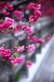 1070222>>2018后里泰安櫻花季:IMG_0552.JPG