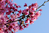 「愛現花遊記」投稿相簿:[accordyen2009] 私房花現--汐止往平溪的山路上 都可發現櫻花喔